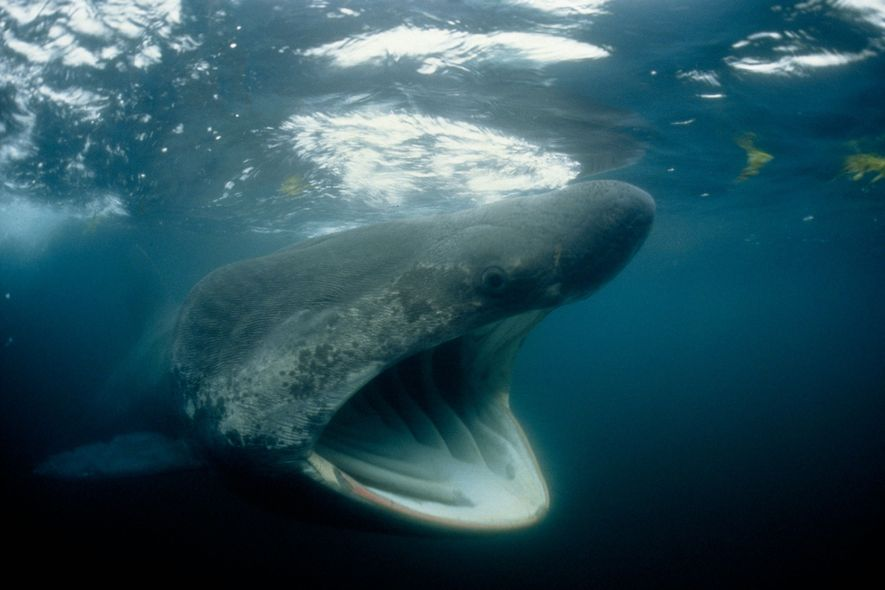 Tubarões-elefante podem assustar, mas a imensa boca aberta serve apenas para filtrar zooplâncton e outras pequenas criaturas através das guelras.