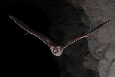 Morcegos-vampiros vivem só de sangue – agora sabemos como