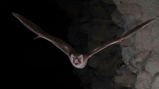 01-morcego-vampiro-Desmodus-rotundus