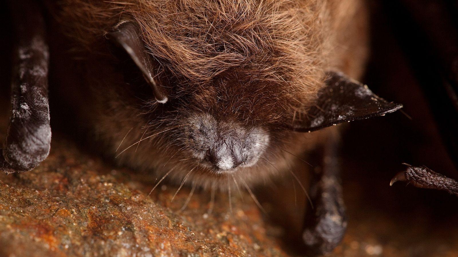 Os morcegos marrons são uma das três espécies mais afetadas pela Síndrome do Nariz Branco, que ...