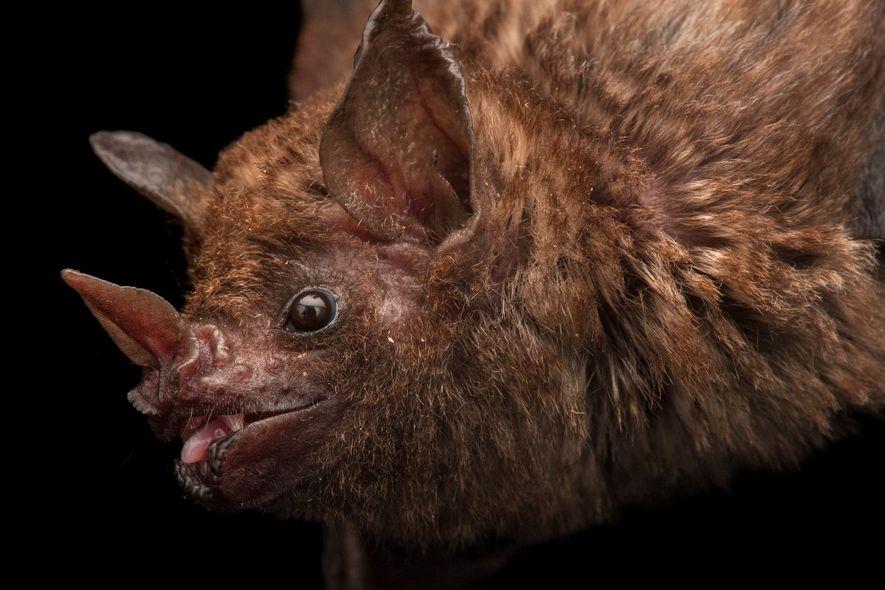 Morcegos estão sendo mortos por pessoas que bebem seu sangue
