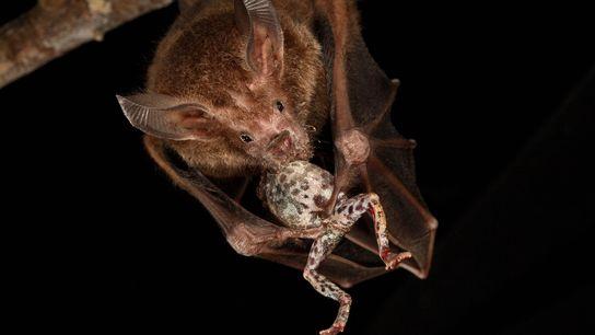 O morcego da espécie Trachops cirrhosus devora uma rã-túngara na Ilha Barro Colorado, no Panamá.