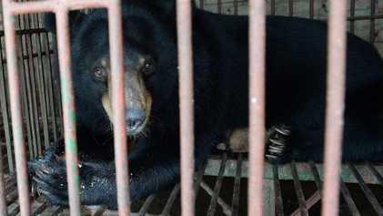 Com as fazendas de bile de urso fechando, animais cativos estão em risco
