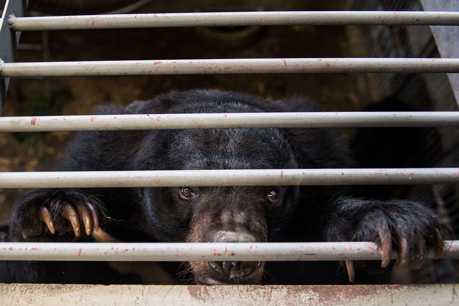China promove uso de bile de urso como tratamento contra o coronavírus