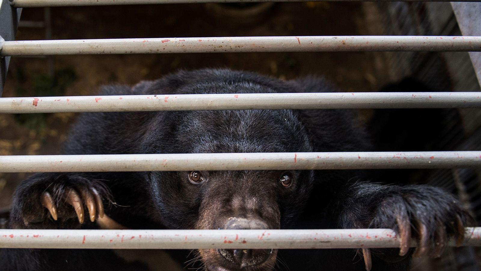 Em fazendas de ursos na China e no sudeste da Ásia, a bile utilizada na medicina ...