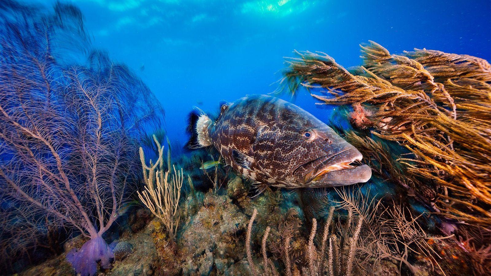 Um sirigado patrulha um jardim de coral em Belize. O país está tomando novas medidas para ...