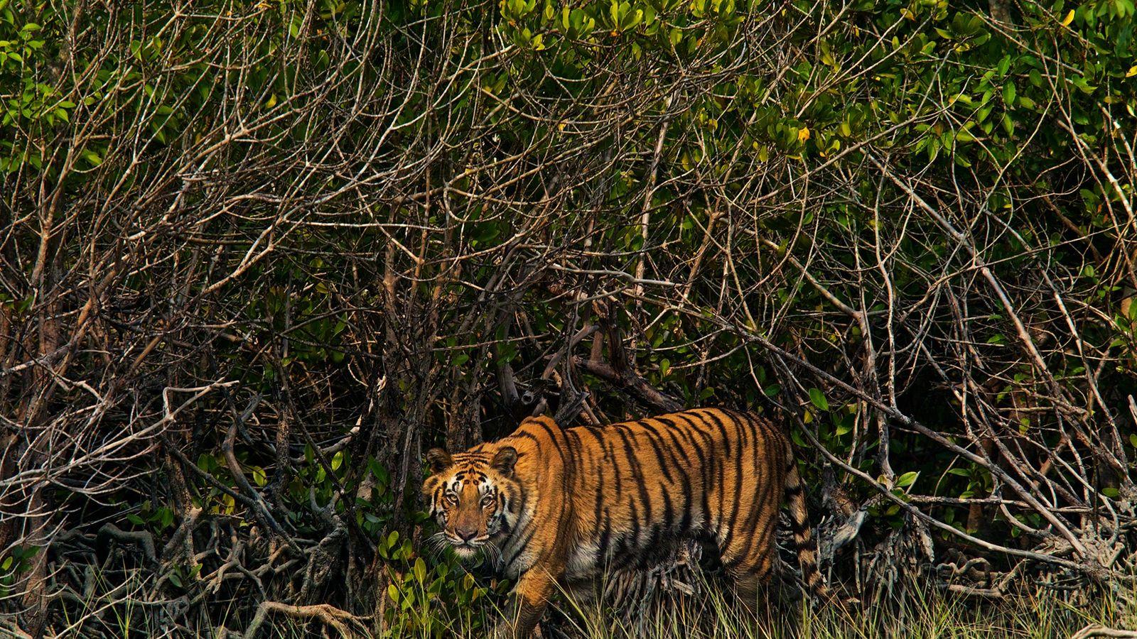 A região do Sundarbans, um enorme mangue arbóreo que se estende por Bangladesh e pela Índia, ...