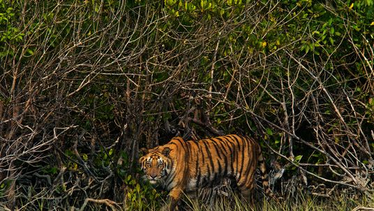 Piratas estão dizimando os tigres-de-bengala de um de seus últimos refúgios