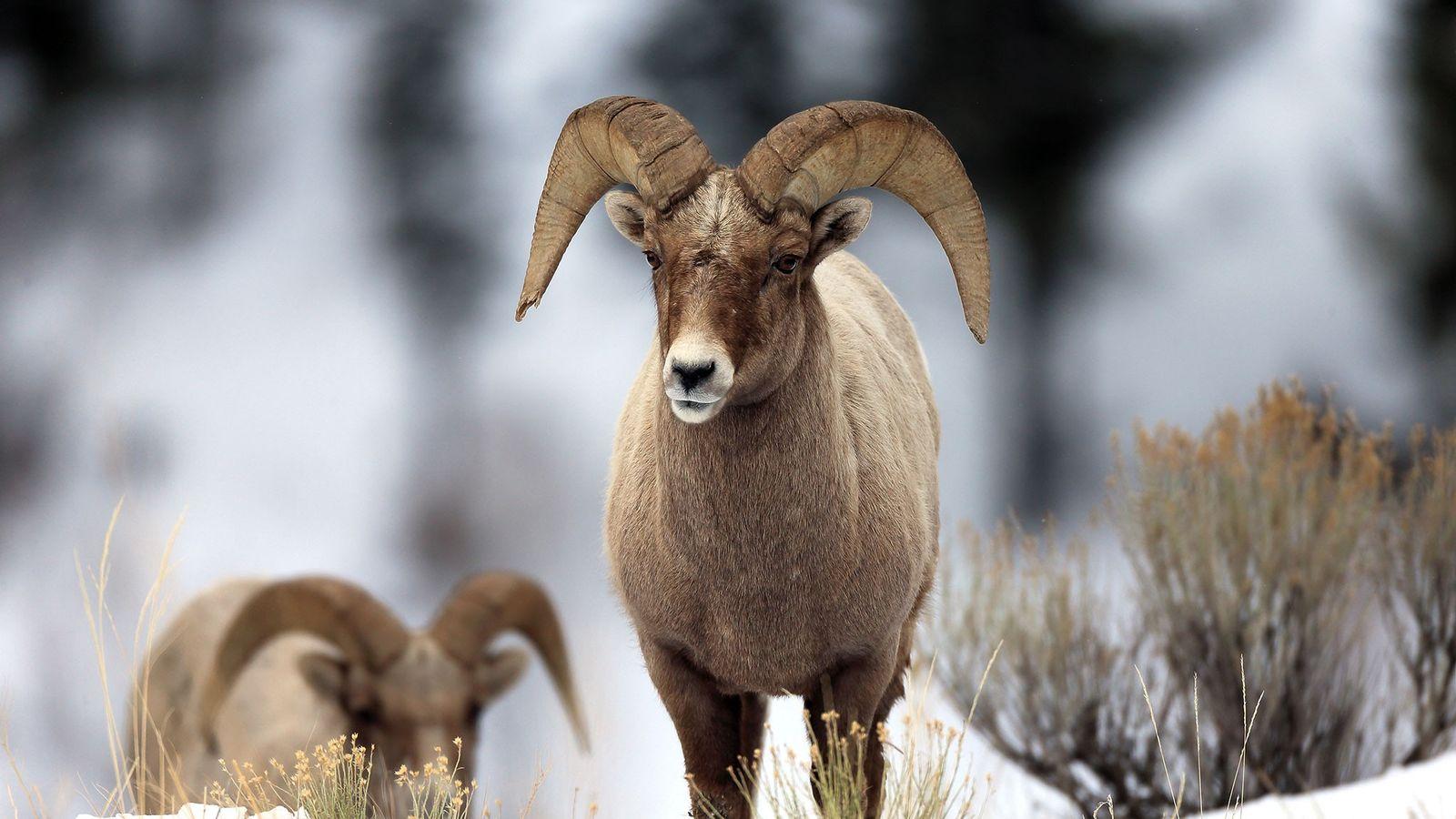 Um carneiro-selvagem macho caminha na neve no Parque Nacional de Grand Teton, em Wyoming. Um pequeno ...