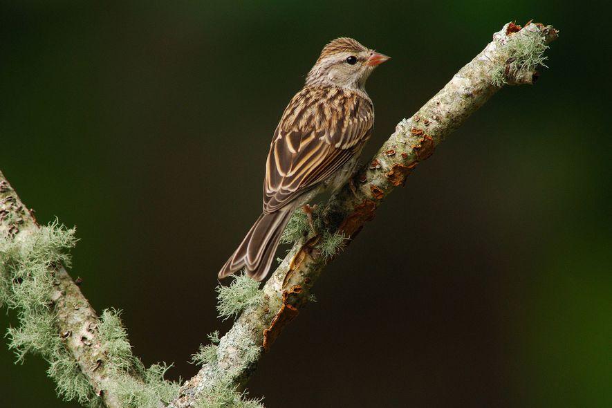 Três bilhões de aves foram perdidas na América do Norte desde 1970