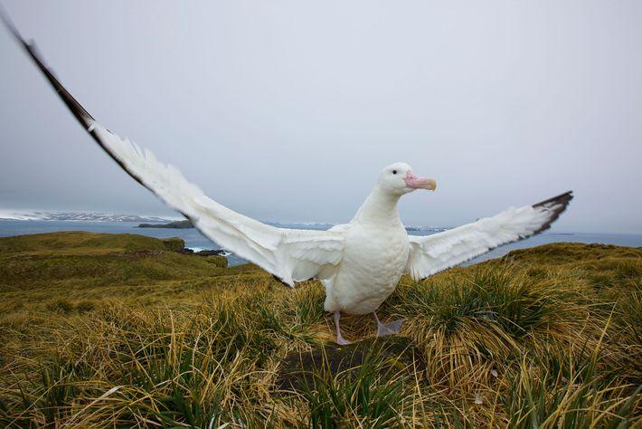 Albatroz-errante bate as asas na ilha da Geórgia do Sul.