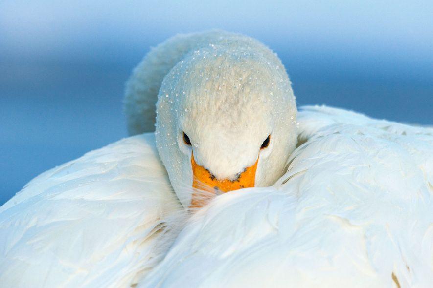 Cisne-bravo. Hokkaido, Japão.