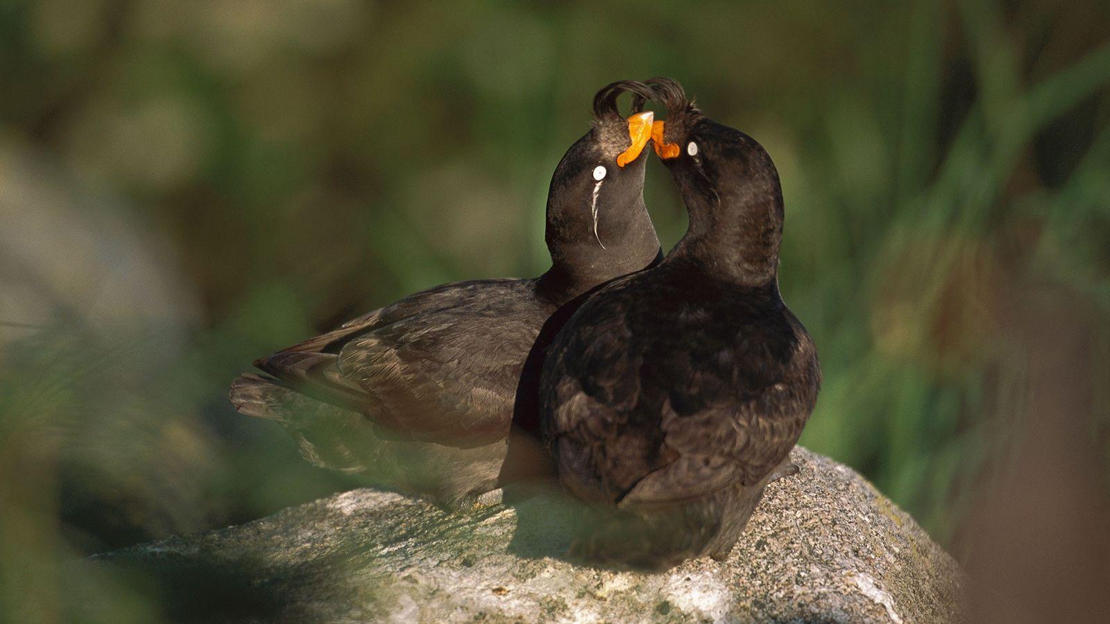 Dois alcas-de-cristas namorando na Ilha Talan, Rússia.