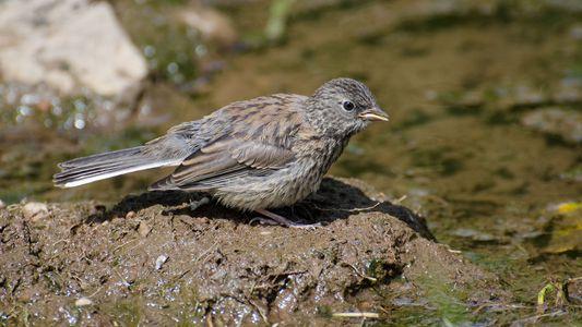 Pássaros que deixam o ninho tarde demais podem colocar suas famílias em risco