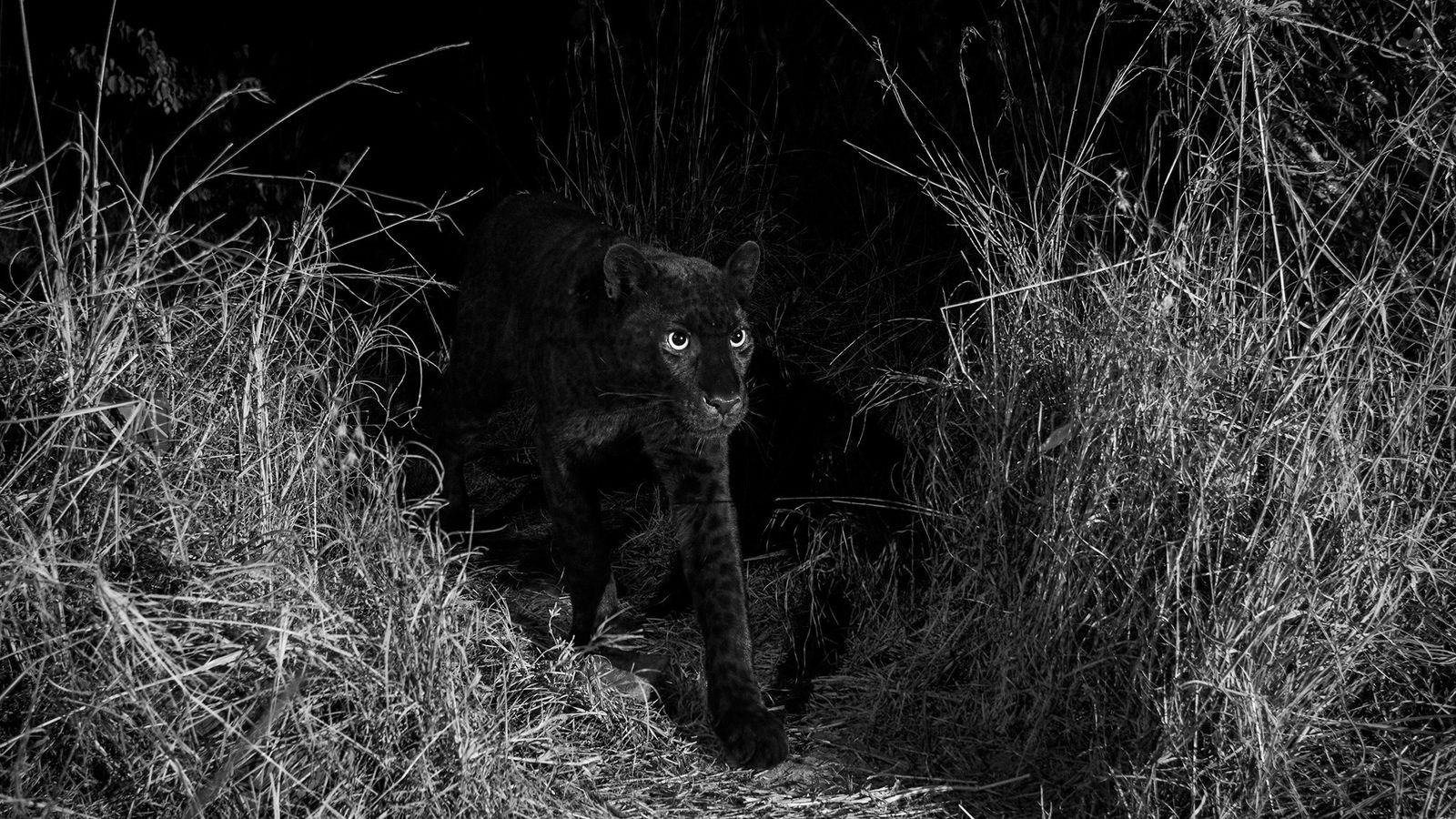 Um leopardo-negro extremamente raro caminha na região de Laikipia Wilderness Camp, região central do Quênia, em ...