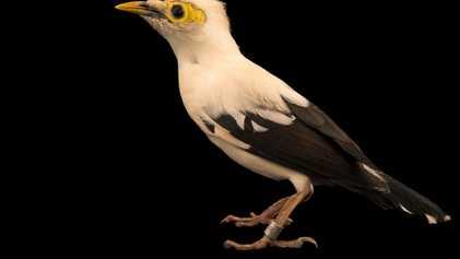 Apesar de milhares em cativeiro, esta rara ave canora está entrando em extinção