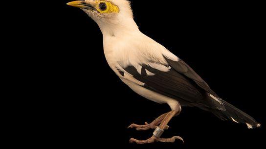 As três espécies, coloquialmente chamadas de mynahs de asas negras, estão criticamente ameaçadas de extinção, com ...