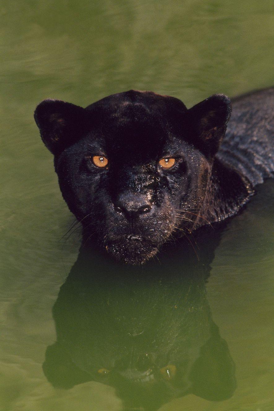 """Onça-pintada preta nadando em um rio no Brasil. """"Pantera negra"""" é um termo amplo que se ..."""