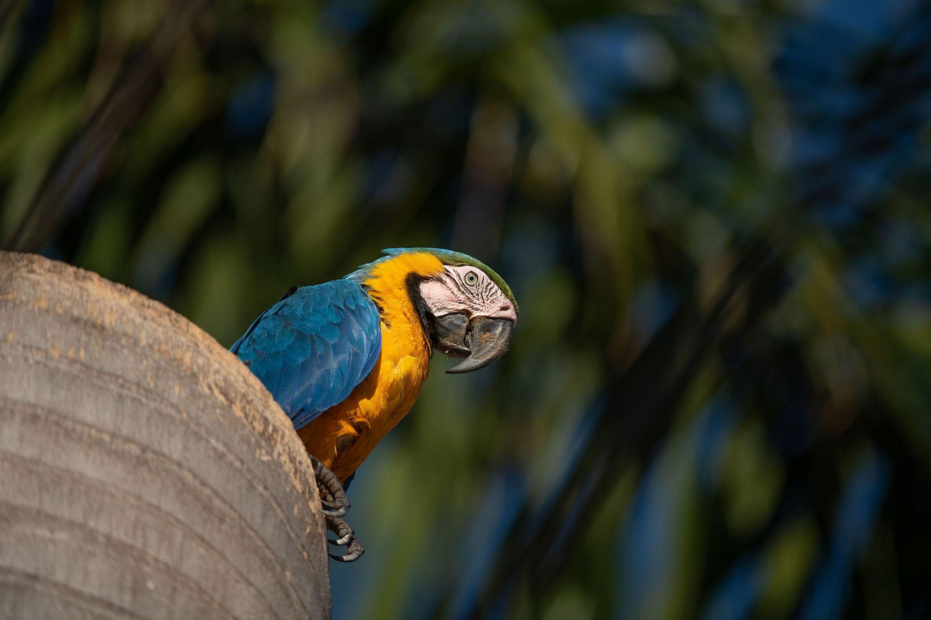 Uma arara-canindé fêmea empoleirada no tronco de uma palmeira em Campo Grande. Dentro, há um ninho ...
