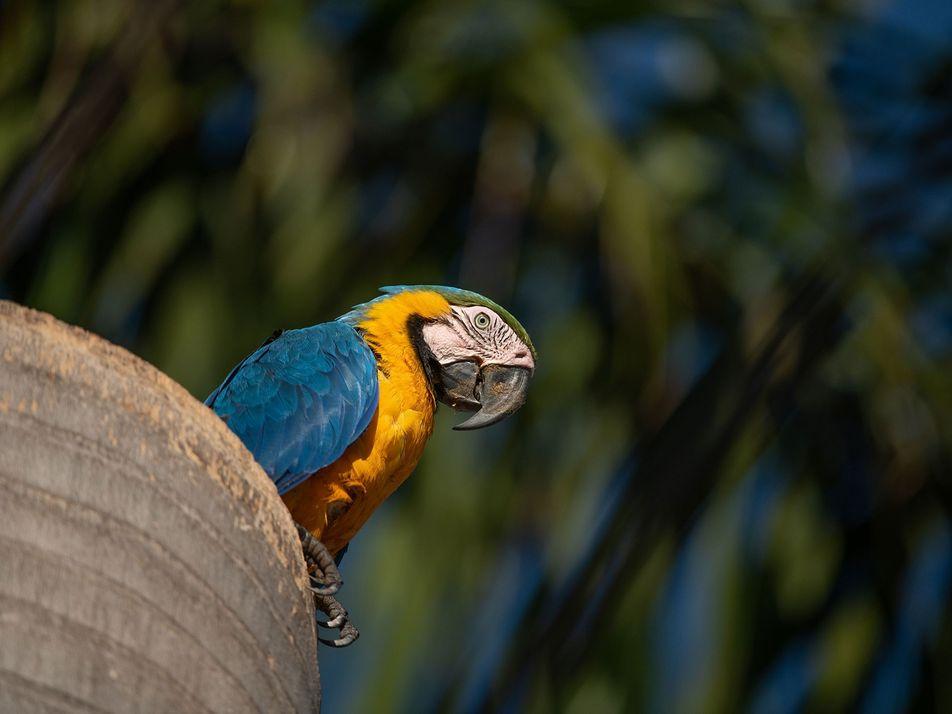 Araras selvagens estão prosperando no Mato Grosso do Sul, mas em áreas urbanas