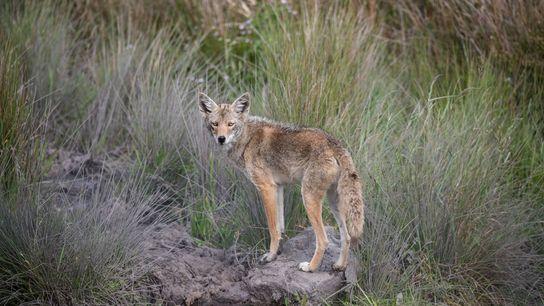 Um coiote com cor de olhos incomum visto em abril na Califórnia.