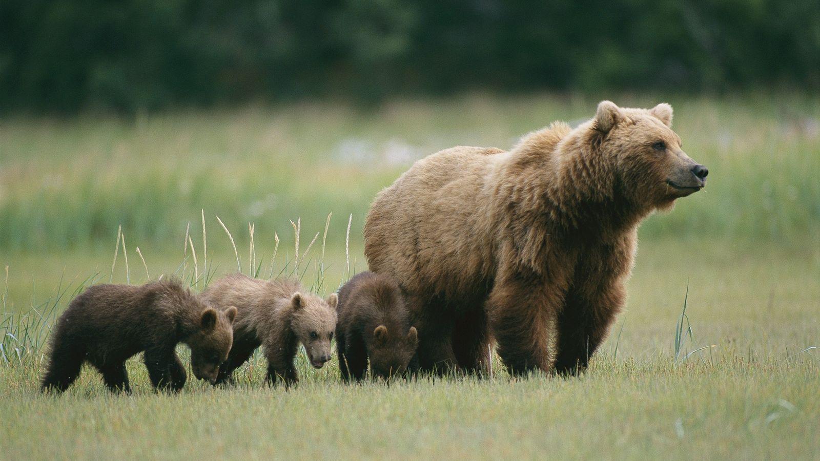 Uma ursa-parda e seus filhotes, como aqueles que foram recentemente filmados na Rússia em um controverso ...