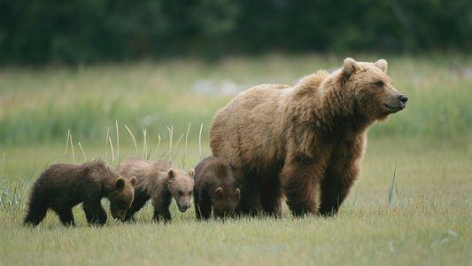 Vídeo viral de urso mostra o lado negativo de filmar animais com drones