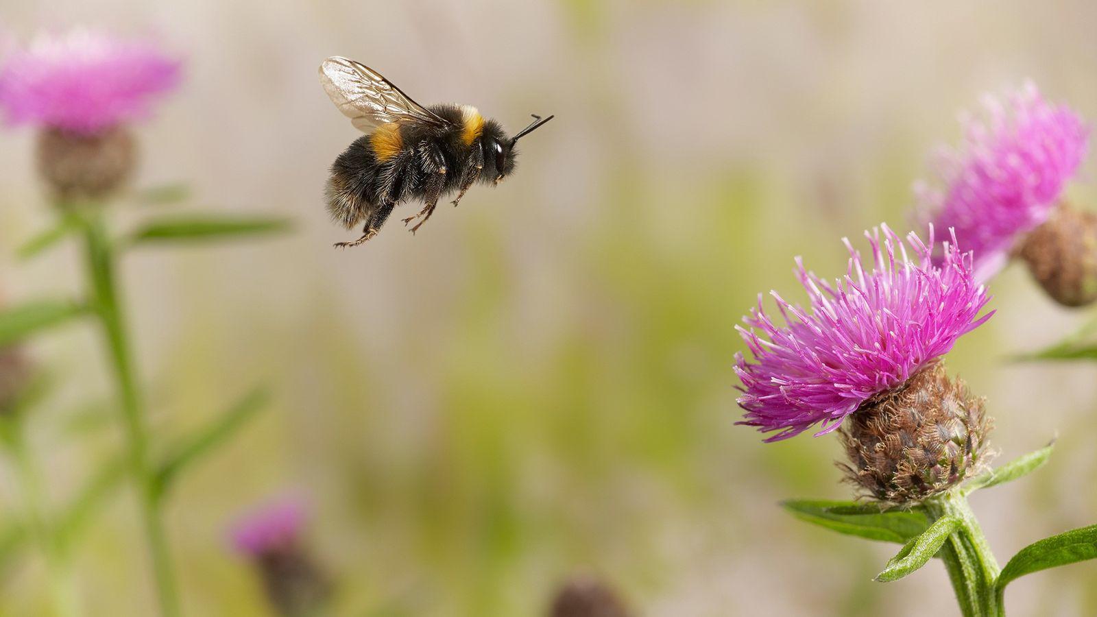 Uma mamangava-de-cauda-amarela-clara entre flores na Inglaterra. Diversas espécies de mamangava estão em declínio devido às mudanças ...