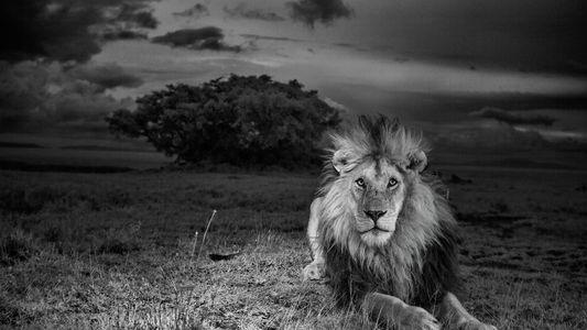 Relembre a história do leão africano que desafiou a morte