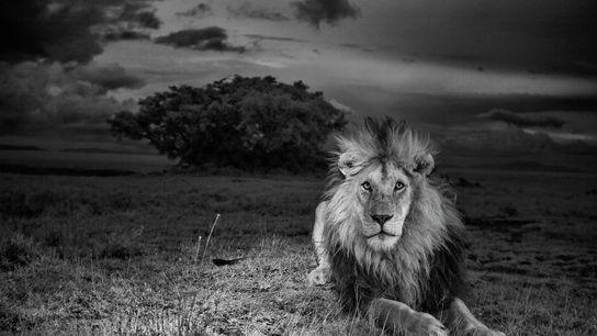 C-Boy, com sua juba escura característica, no Parque Nacional do Serengeti na Tanzânia. Ele era amado ...