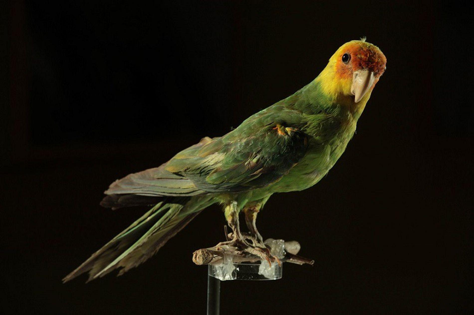 Acredita-se que este espécime de periquito-da-carolina, mantido em uma coleção particular em Ginora, na Espanha, tenha ...