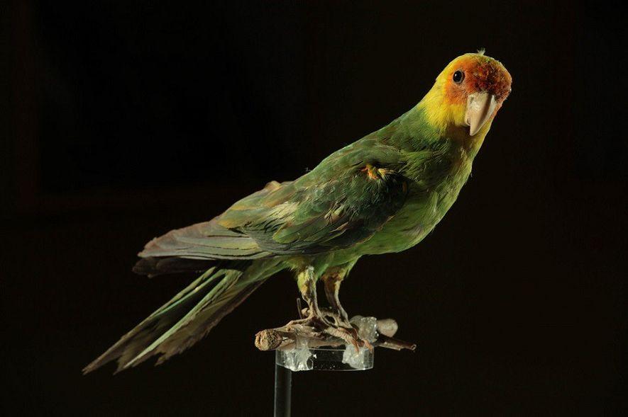Como o homem exterminou o único papagaio nativo da região continental dos EUA