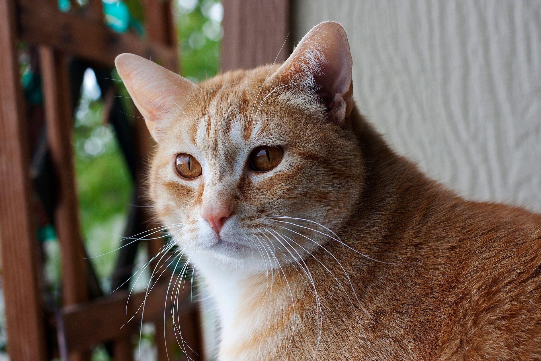 Os gatos associam o nome próprio a recompensas, como carinho e comida.