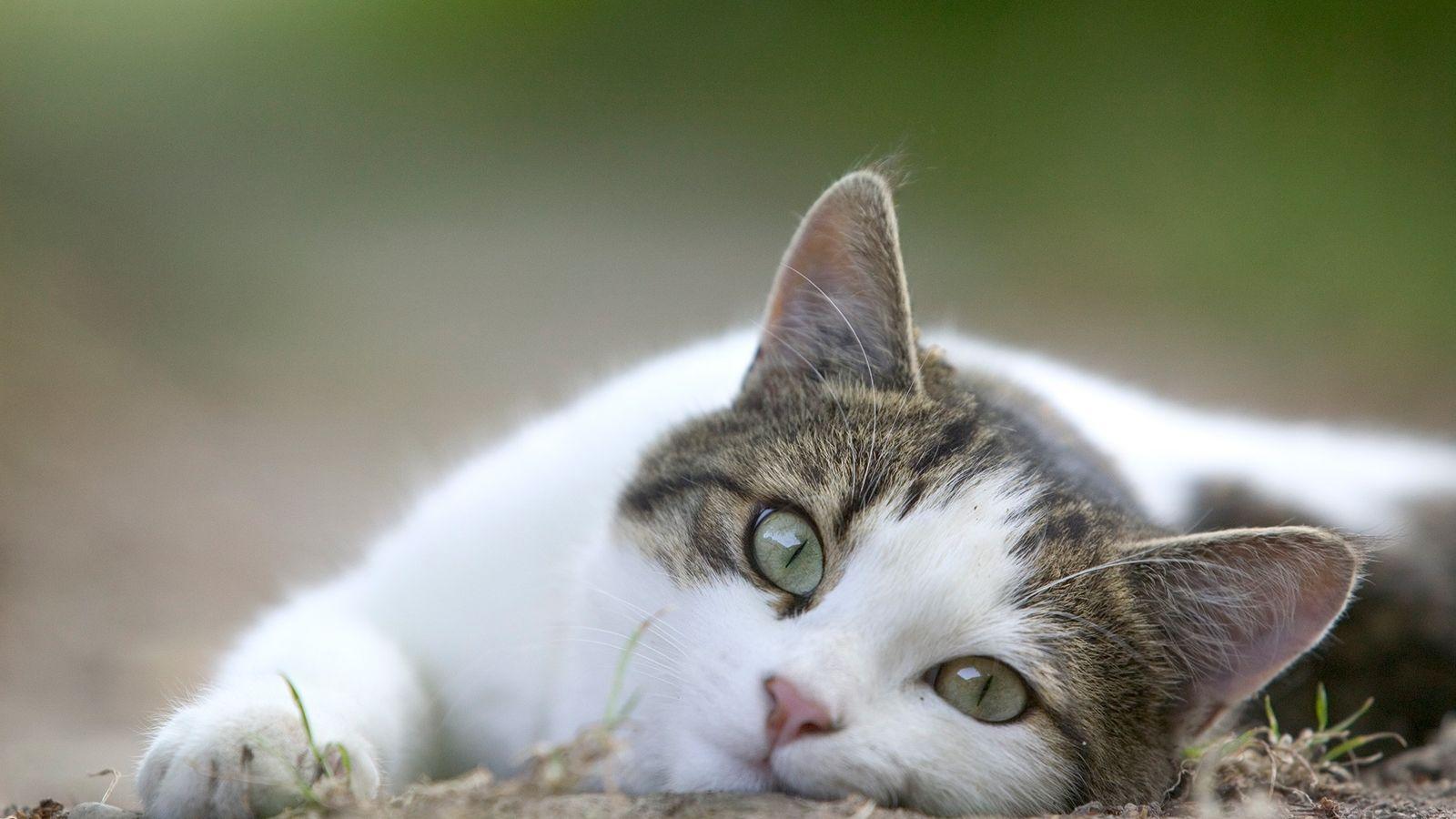 Gatos domésticos são conhecidos por demonstrar suas preferências aos donos.