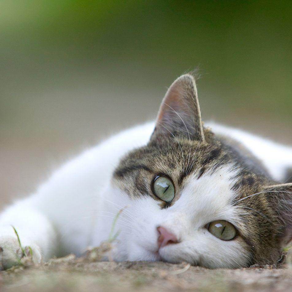 Saiba por que gatos odeiam tanto um carinho na barriga