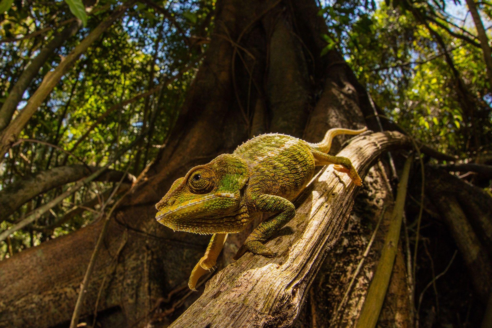 Nova pele 'inteligente' muda de cor usando truque aprendido com os camaleões | National Geographic