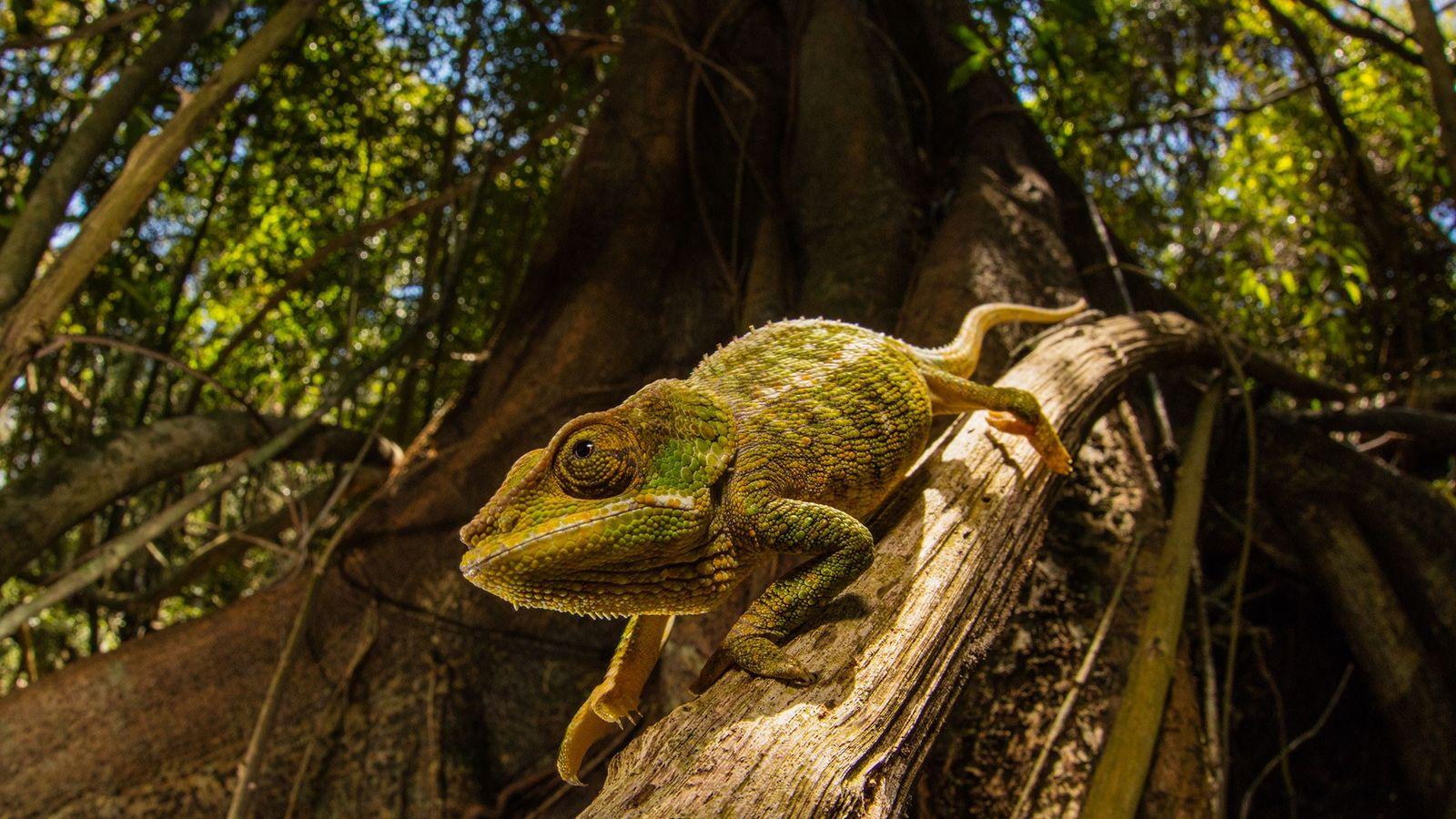 Os camaleões podem mudar a cor da pele com base no ambiente. Uma nova pele 'inteligente', ...