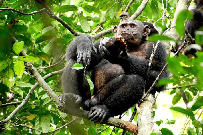 Os pesquisadores observaram Pandi, um macho adulto, quebrar 20 tartarugas para se alimentar, um recorde entre ...