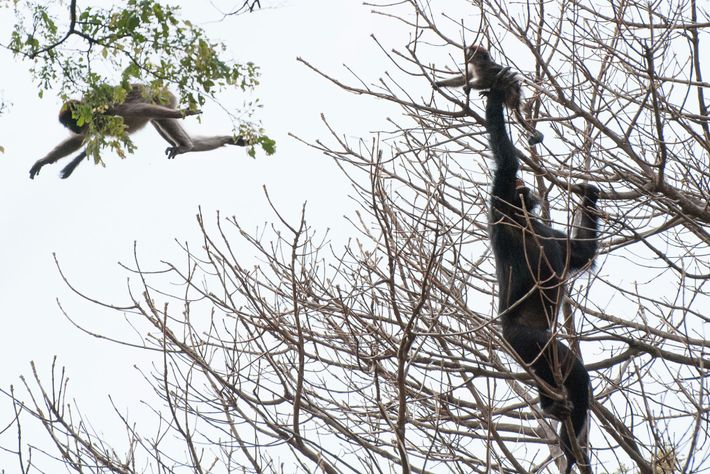 Chimpanzé caça macaco colobus vermelho na Tanzânia