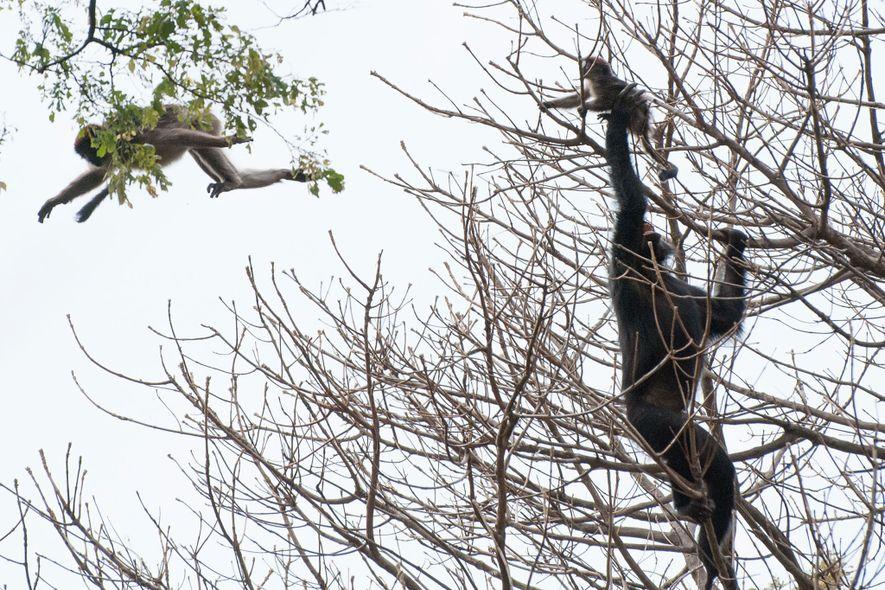 Chimpanzé captura um macaco colobus vermelho durante uma caçada.