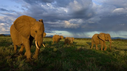 O número de elefantes africanos despencou em 30% de 2007 a 2014, em grande parte devido ...