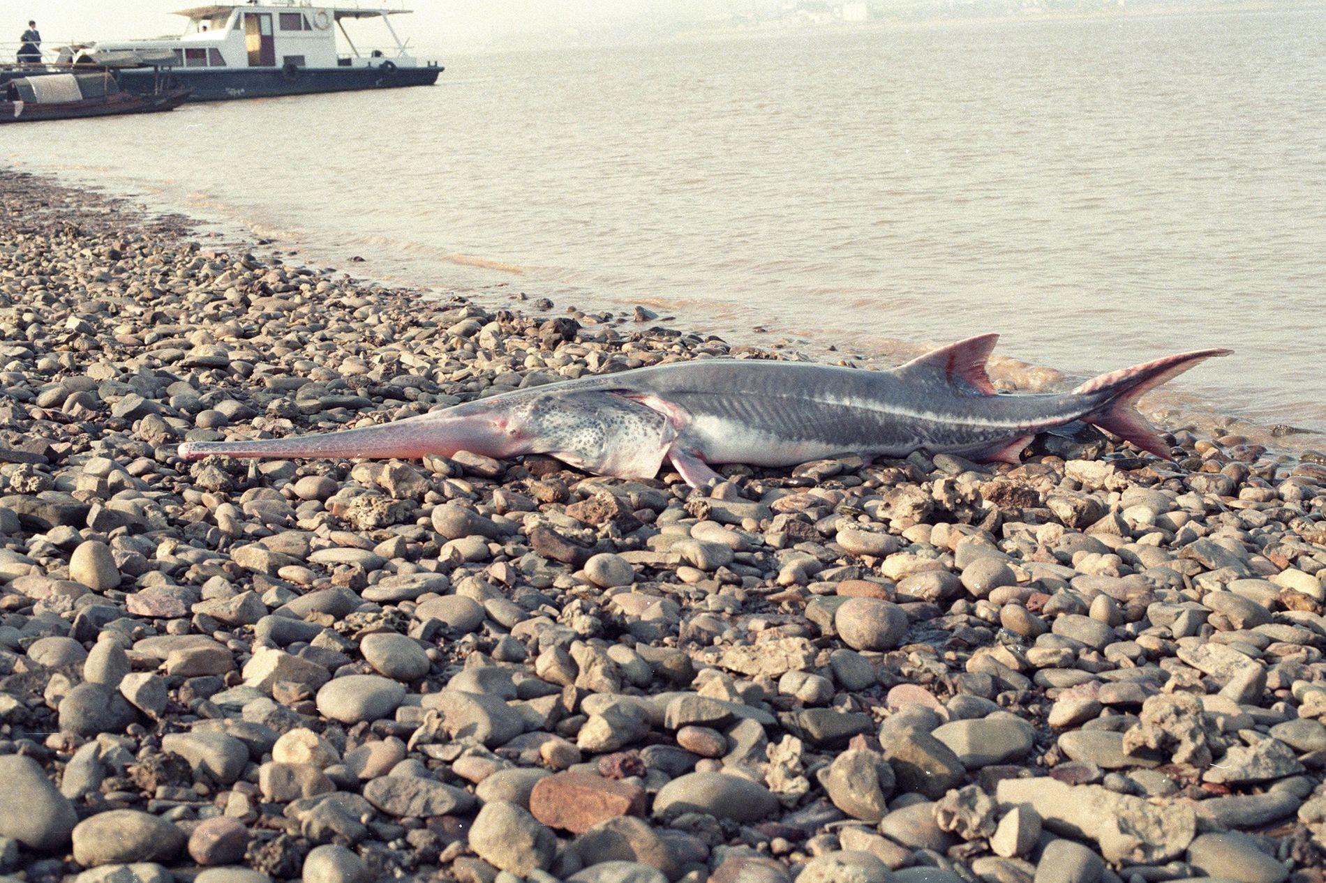 O último peixe-espátula-chinês (Psephurus gladius) vivo foi visto em 2003, a espécie foi declarada extinta. Devido ...