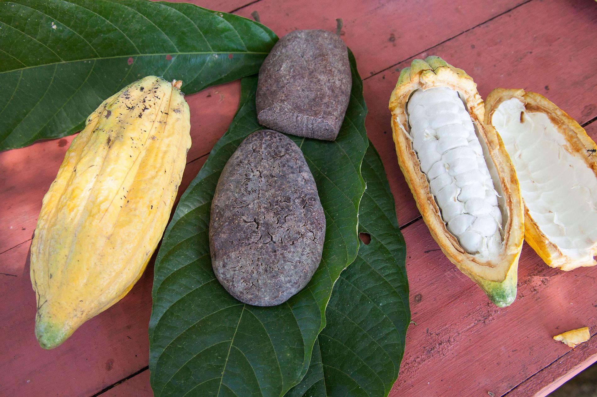 Há provas de que povos da antiguidade na bacia do rio Amazonas processavam e consumiam cacau ...