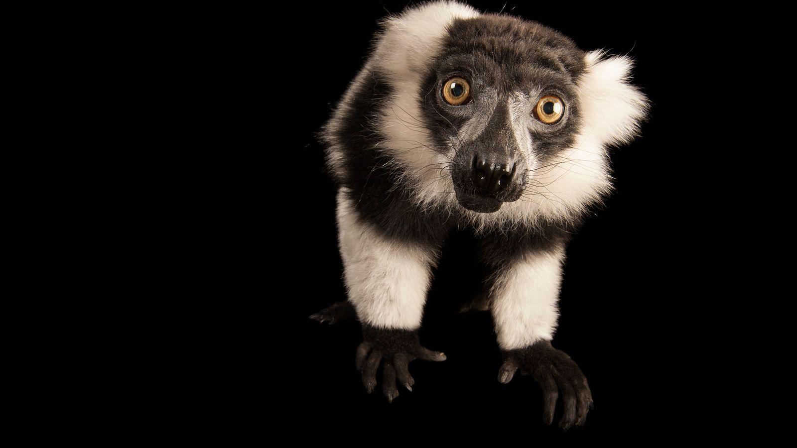 Um varecia preto-e-branco olha para a câmera no Lincoln Children's Zoo, Nebraska, EUA.