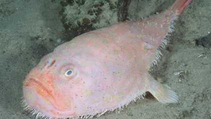 Bizarro peixe de águas profundas prende a respiração por 4 minutos