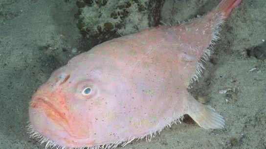 O peixe da espécie Chaunax endeavouri está entre as mais de 20 espécies de coffinfish. Os ...