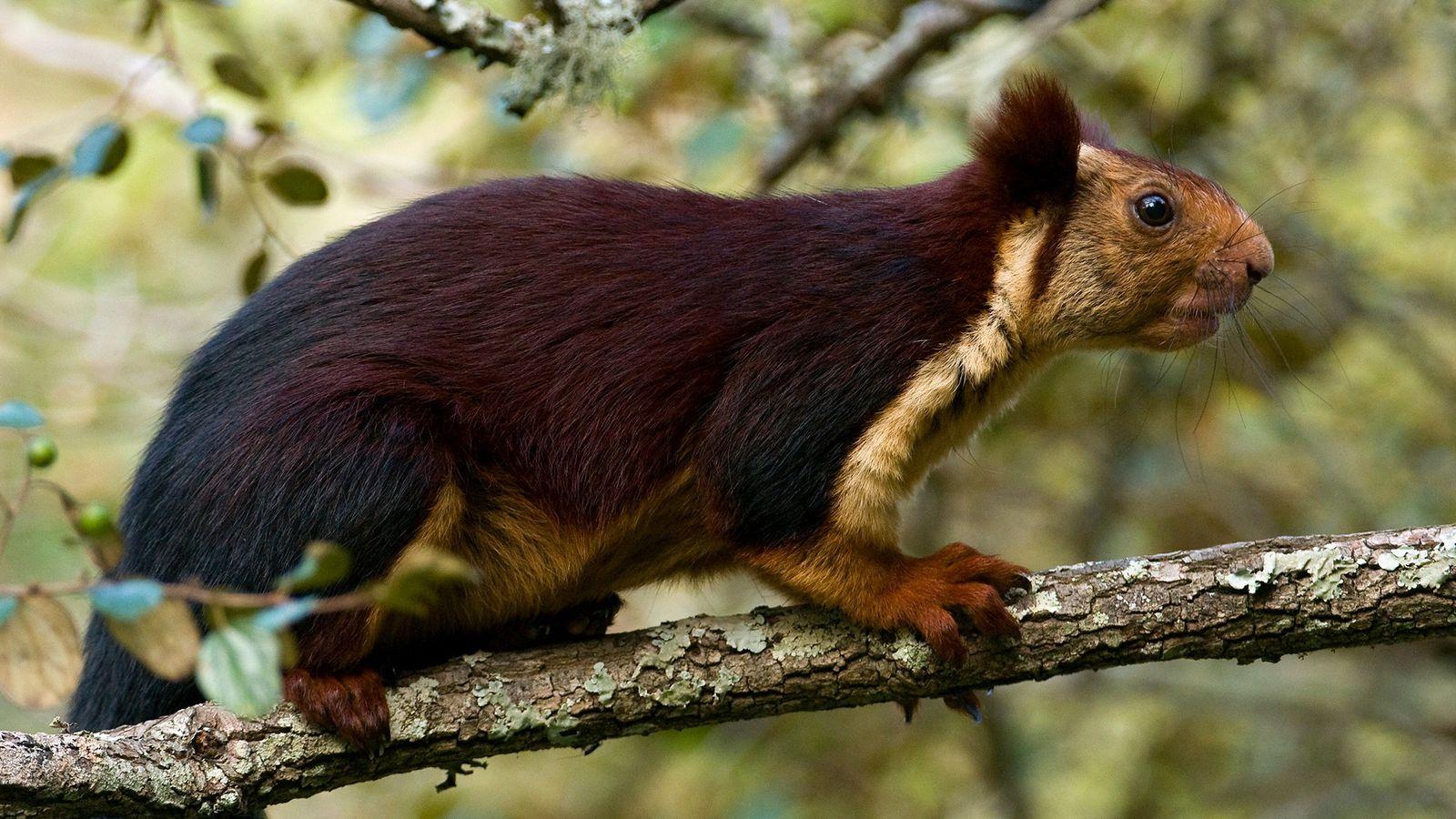 O esquilo-gigante-indiano (na foto, animal de Karnataka, Índia), pode chegar a 45 centímetros de comprimento.