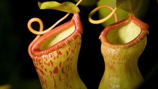 As plantas de jarro do gênero Nepenthes são carnívoras e possuem uma interessante relação de simbiose ...