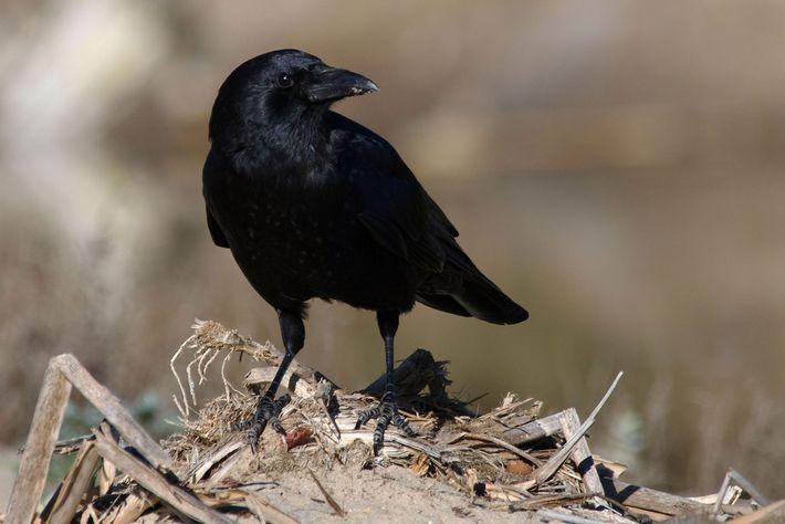 O corvo-americano (Corvus brachyrhynchos) se tornou um animal comum nas áreas urbanas e suburbanas de toda ...