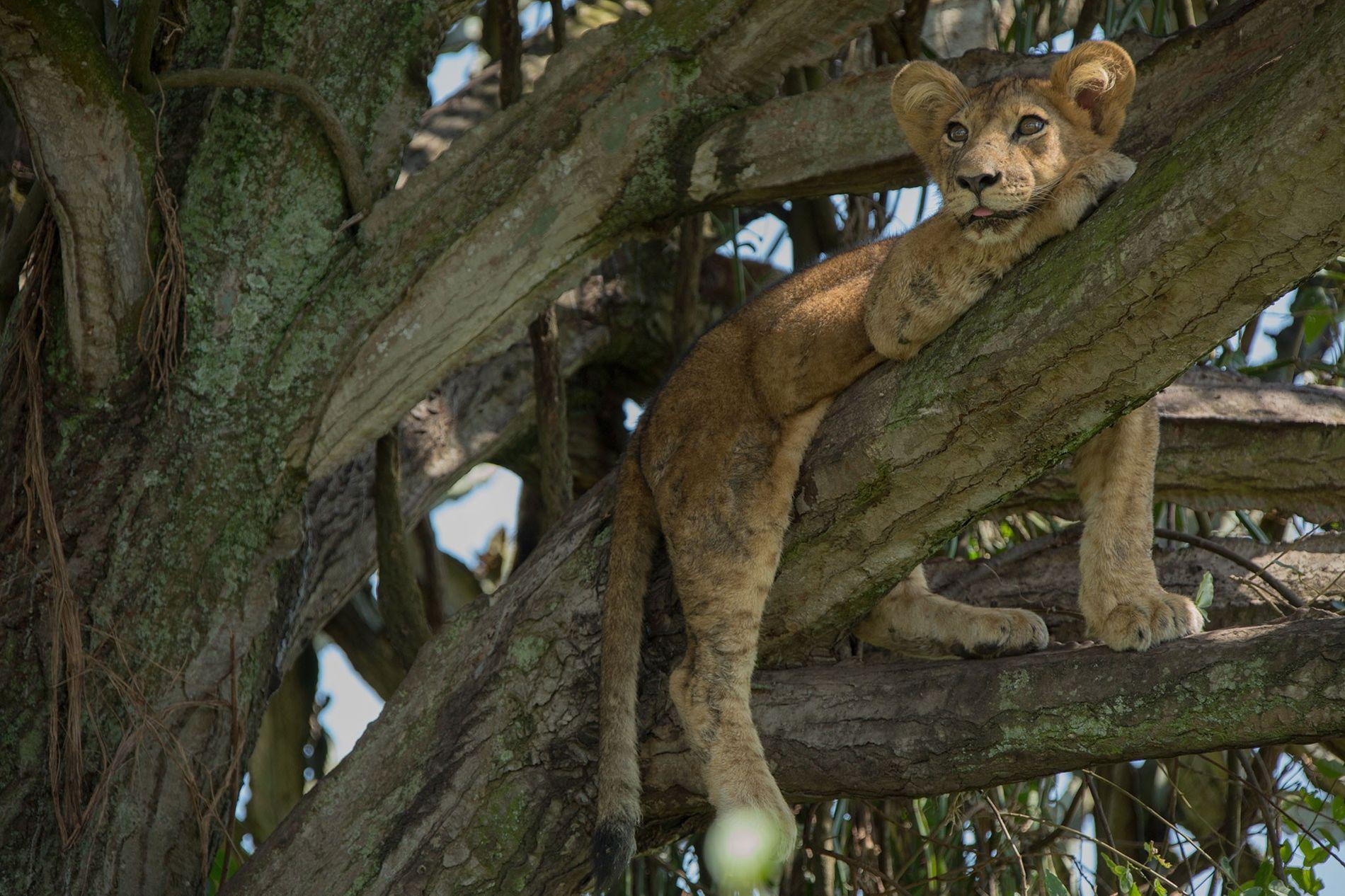 Um dos filhotes de leão que morreram envenenados no Parque Nacional Queen Elizabeth